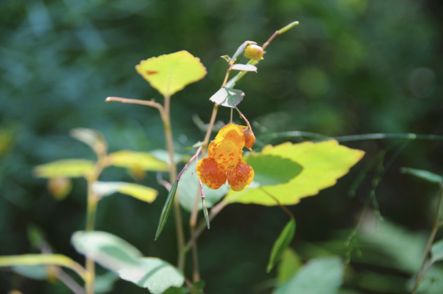 August Jewelweed