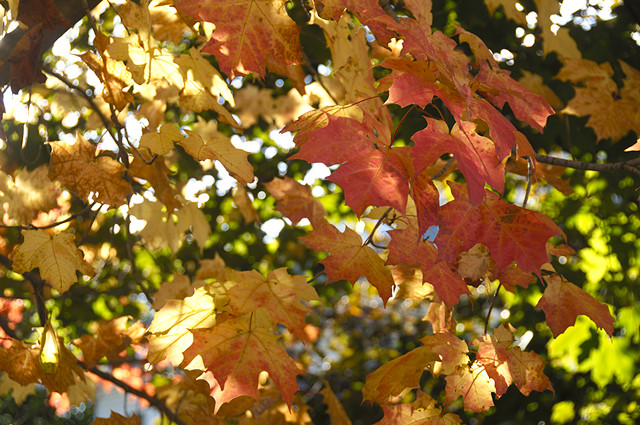 maple tree colors