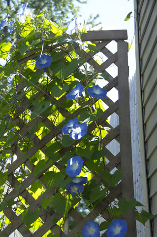 morning glories on trellis