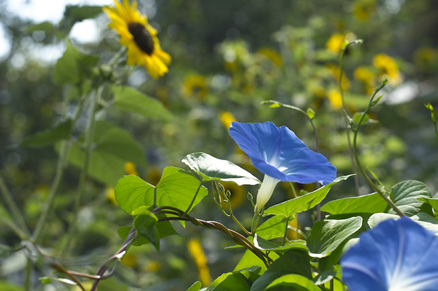 morning glory and sunflower